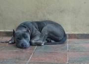 Pitbull Blue Nose Ofrecemos Servicio de Monta y Bulldog Americano