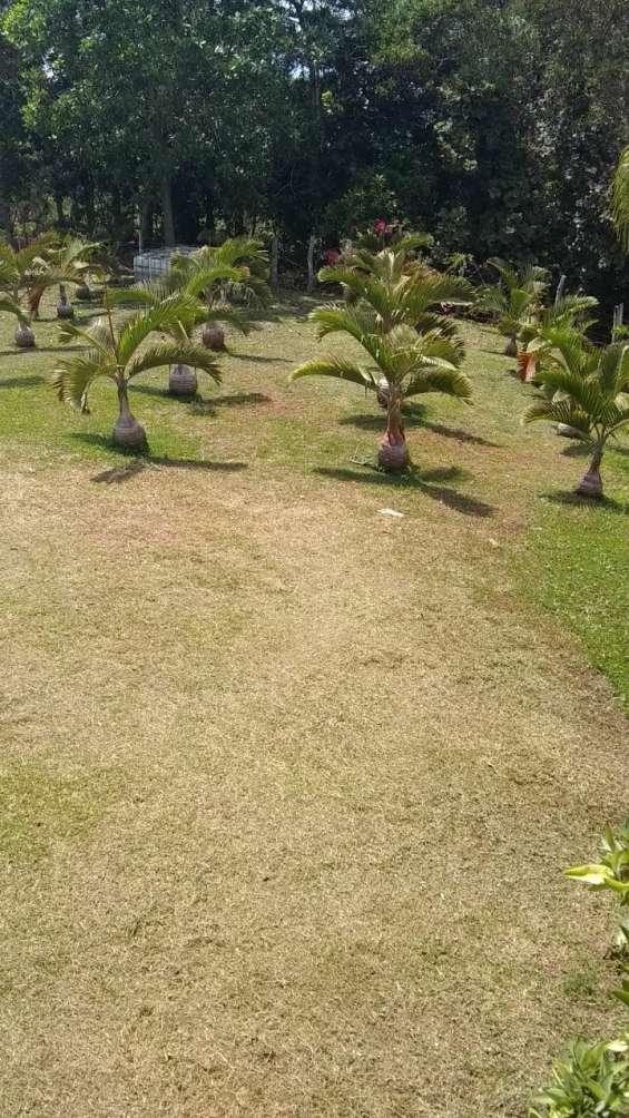 Venta al mayor de palmas ornamentales, de colección y vivero
